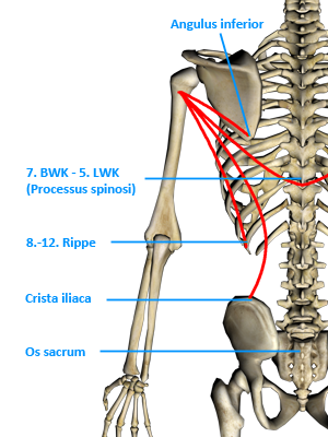 Musculus latissimus dorsi || Med-koM